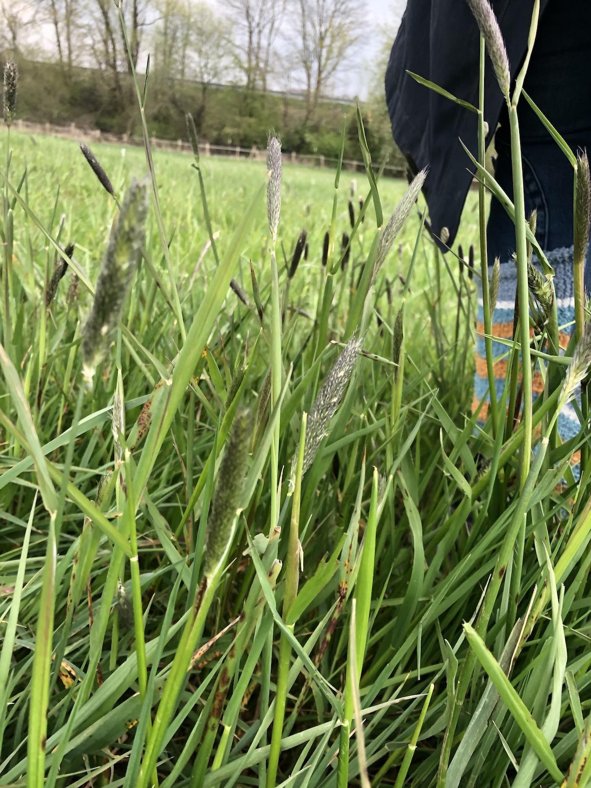 Kniehohes Gras im Vordergrund, Merkmal für gutes Pferdefutter.